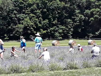 lavendar harvest